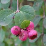 Cotonéaster : feuilles et baies