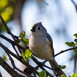 Tufted Titmouse by Timothy Crane - Novices Only Wildlife ( bird, tufted titmouse, wildlife, pennsylvania, titmouse, small bird )