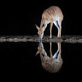 Drinking by night by Mauricio Soares - Animals Other Mammals