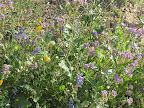Poppies, Scorpionweed, Chia and Lupine 3/25