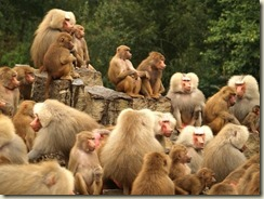 troop of monkeys