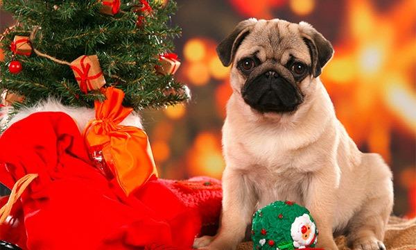 Mops erhält Weihnachtsgeschenke