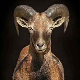 Capricorn by Abdul Rehman - Animals Other ( wild goat nature beauty eyes life )