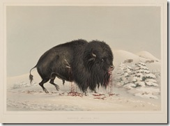 wounded-buffalo