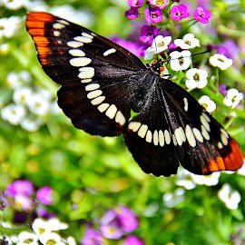 Butterfly  by Randy Young - Animals Insects & Spiders
