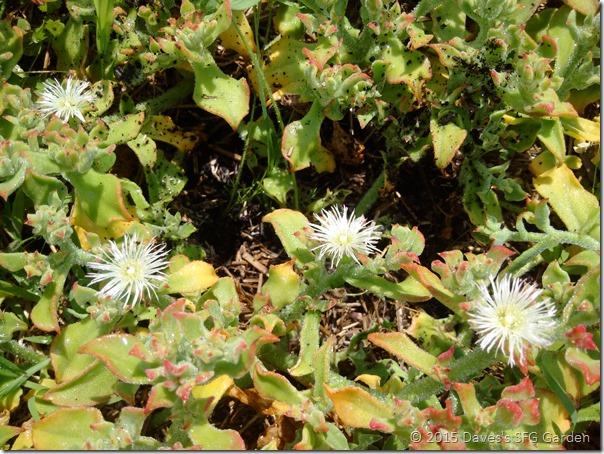 Ice_plant_flowers