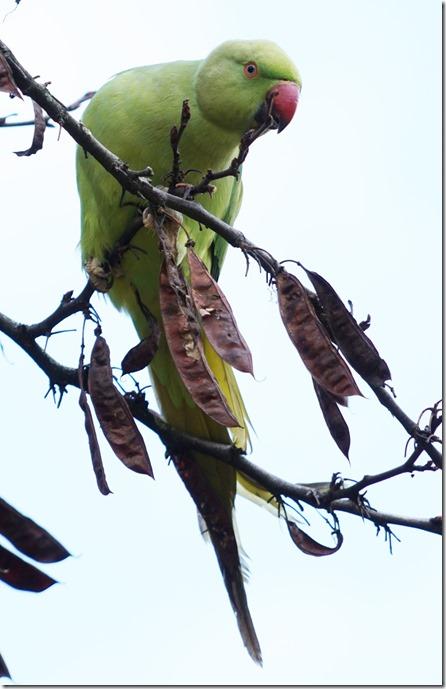 paris parrot 111815 00008