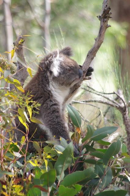 A koala hanging out in a gumtree at Yanchep National Park.