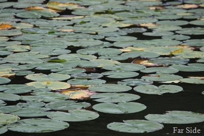 Lily Pads turning yellow
