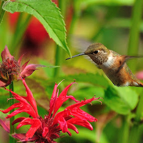 Hummingbird I by Dennis McClintock - Animals Birds ( flowers with a visitor contest, bird, color red, hummingbird, flower,  )