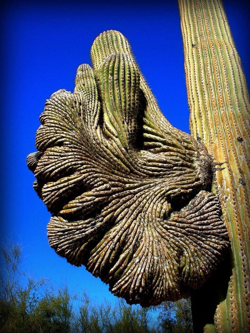 crested-saguaros-1