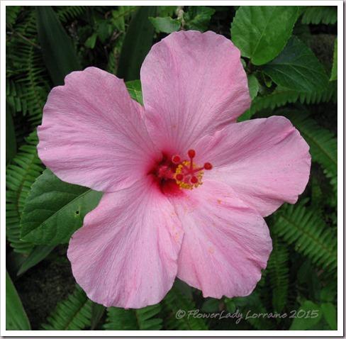 11-26-hibiscus2