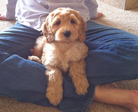 Beautiful puppy dog Gorgeousdoodle, lives in Fort Collins Colorado.