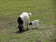 2015.04.27-054 chèvre et son chevreau
