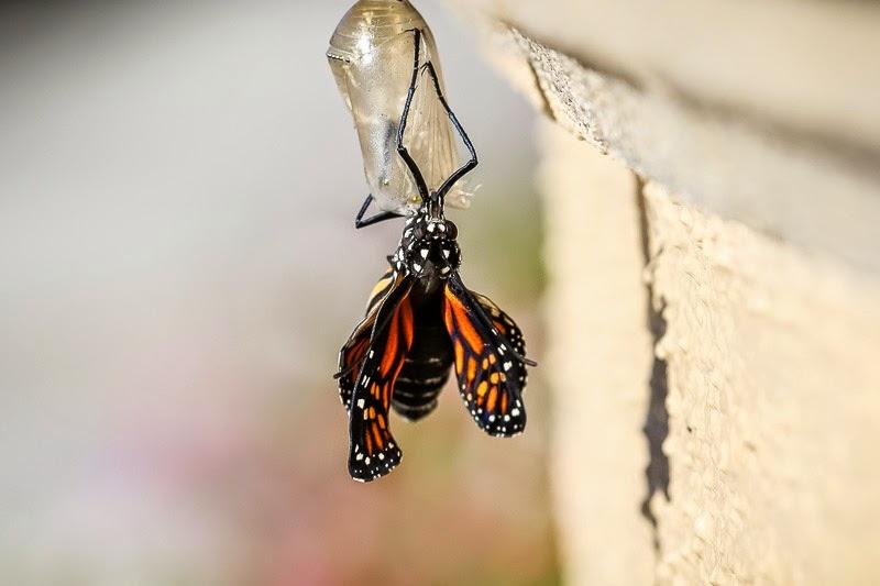 emerging monarchs-8