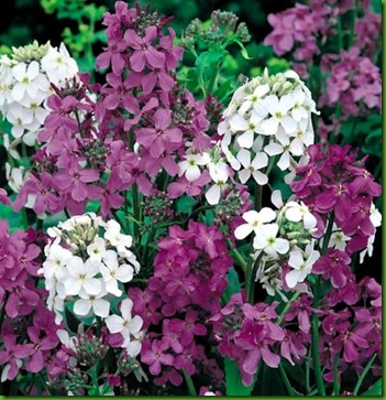 Hesperis-dames-rocket-mix