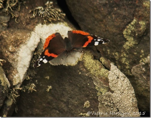18Red-Admiral