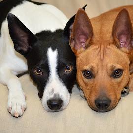 Boomer & Derby by Claudia Birkland - Animals - Dogs Portraits