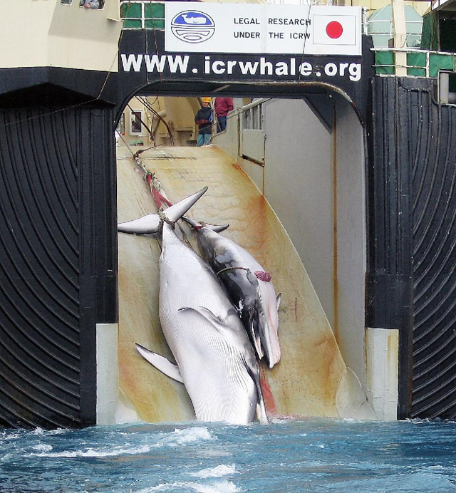 The bodies of a slaughtered mother whale and her calf are dragged on board the Japanese ship Nisshin Maru, after being harpooned in Antarctic waters, in this 2008 photo taken from an Australian customs vessel. Photo: Australian Customs Service / AFP / File