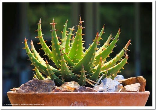 150422_Aloe-melanacantha_001