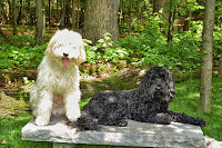 Duncan and Harrison  gorgeous doodles lives in Mokena, IL.