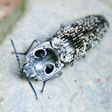 Eastern Eyed-Click Beetle