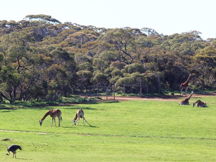 virtù - mae love giraffes