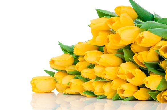 yellow-tulips-buds-flower