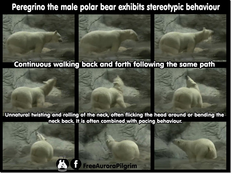 polarbear-stereotypic_behav