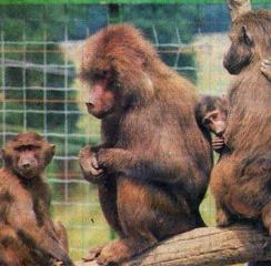 Xertigny babouins