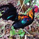 Labuyo (Philippine wild chicken or Philippine jungle fowl)