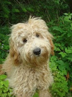 GorgeousDoodles Bentley is a Australian Labradoodle with a golden fleece coat.