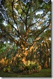 Oak at sunset 3