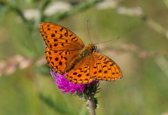 31_Argynnis adippe_Giumello-014 (FILEminimizer)