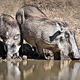 Warthog Family by Pieter J de Villiers - Animals Other