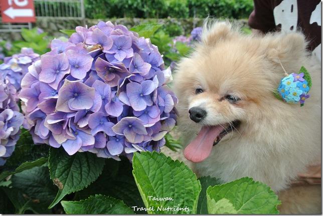 陽明山繡球花 (32)