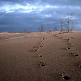 Deer On The Dunes by Kellie Prowse - Landscapes Deserts ( sand, dunes, tracks, landscape, deer )