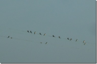 4 swallows gathering