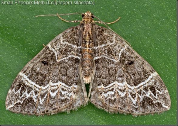 Small Phoenix Moth (Ecliptopera silaceata)