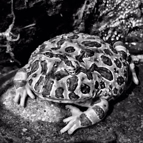 Just Chillin' by Charline Ratcliff - Black & White Animals ( nature, frog, black and white, amphibian, animal,  )