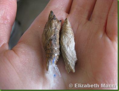chrysalis black swallowtail