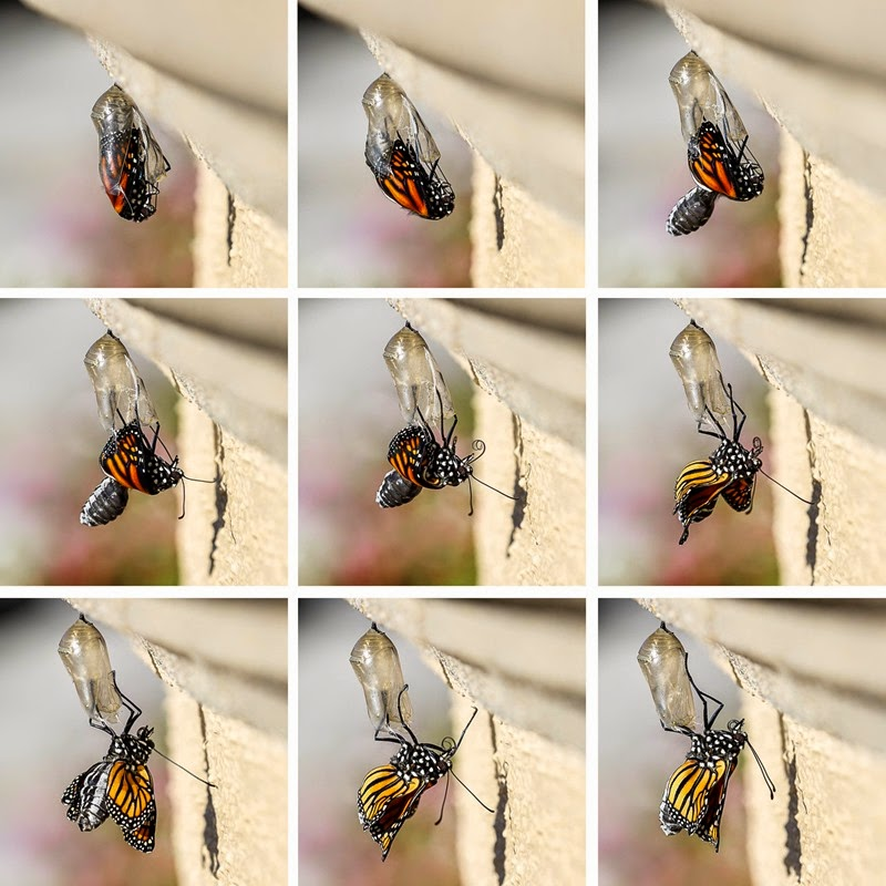 emerging monarchs-7