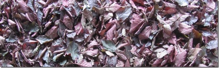 Blutpflaumenblätter