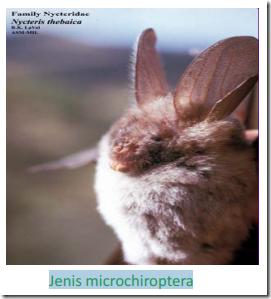 microchiroptera