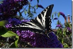 lopez tiger swallowtail 062015 00001