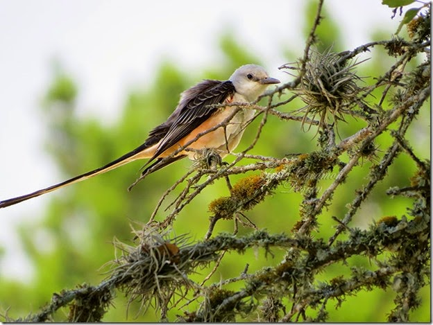 Scissortailed_Flycatcher