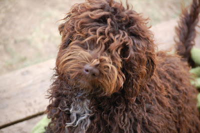 Evergreen Manor Gorgeousdoodles Rocky Mt. Ricky. Ricky is a handsome mini stud labradoodle boy.
