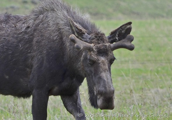 Young Bull Moose