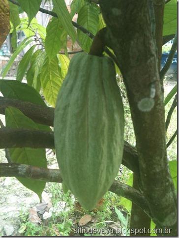 fruto do cacaueiro