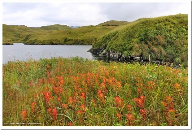 150908_Adak_fireweed_meadow_WM